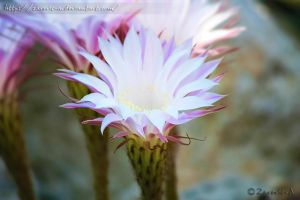 Exotic white Flower by Zarevic-A