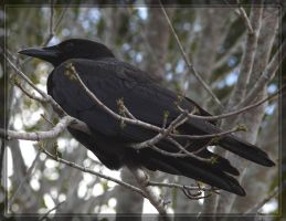 American Crow 40D0001040 by Cristian-M