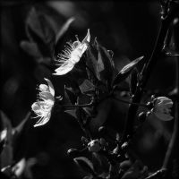 Colorless Blossom by Weissglut