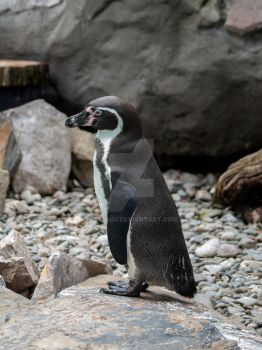 Humboldt penguin by 75ronin