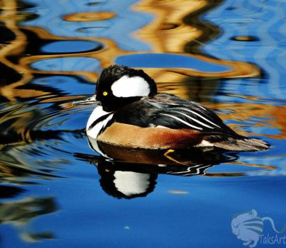Hooded Merganser swim by TaksArtPhotos