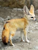 fennec fox, by jcis4me