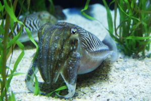 CuttleFish by MicWits101