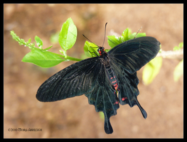 Butterfly Black and Red by Mogrianne