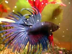 how to breed bettas fish youtube
