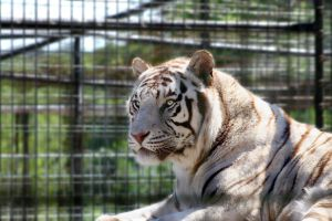 white tiger beauty by TlCphotography730