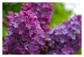 Butterfly Bush by Samcatt