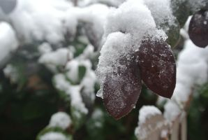 Icy leaves :) by psimpson1