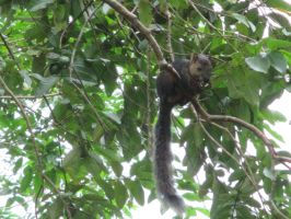 Costa Rica: Squirrel by emilyg2014