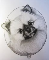 Chico the Pomeranian by FlyingFancy1