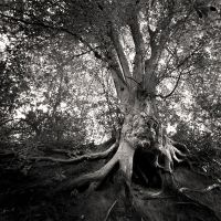 Old Tree by Jez92