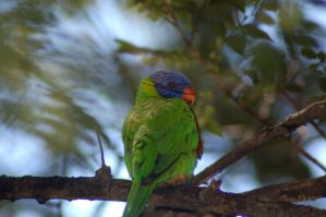 Evil Lorikeet by Karak-Crow