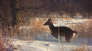 White-tailed deer in the park by RinFlorin