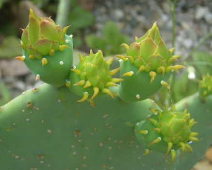 Budding Opuntia 01 by 1389AD