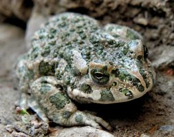 European green toad by Biljana1313