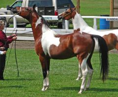 Halter Horse 20 by shi-stock