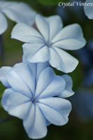 Baby Blue Plumbago by poetcrystaldawn