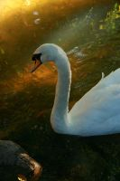 SWAN SONG by alan1828