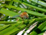 A Golden Bee Fly (Lordotus gibbus) by Poolbandit