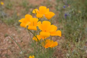 Mexican Gold Poppies by apetc