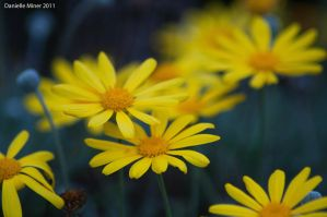 Yellow Daisies by DanielleMiner