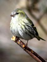 Siskin 1 by BlonderMoment