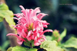 pink beauty. by kamilla-b