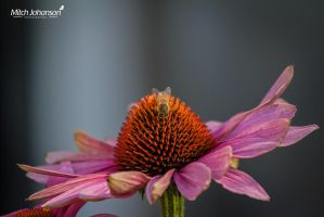 Bee on a Pink Flower by mjohanson