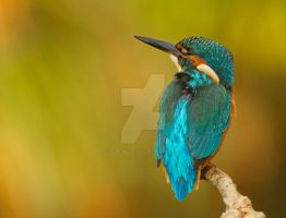 Autumn Kingfisher by Jamie-MacArthur