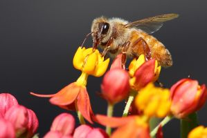 Honey Bee by davidisinla