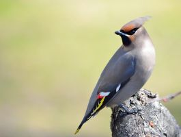 Bohemian Waxwing by Sonussilentii