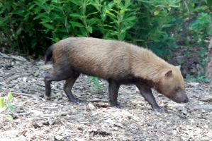 Speothos venaticus : Bush Dog 011 by lumibear