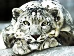 Snow Leopard by Ravensdance