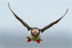 Puffin by ClaudeG
