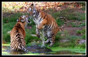 Playful Tigers by Arwen91