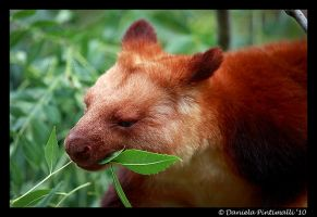 Tree Kangaroo Lunch by TVD-Photography