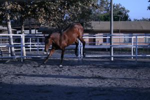 bay horse stock 37 by xbr0kendevotion