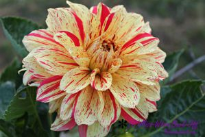 Dahlia Fever by Miss-Whoa-Back-Off