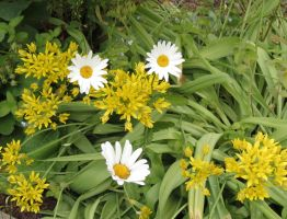 Lily Leek and Oxeye Daisy by Kattvinge