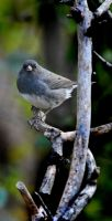 Northern Junco by richardcgreen