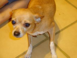 my chihuahua named polly by Jacquelinesparrow143