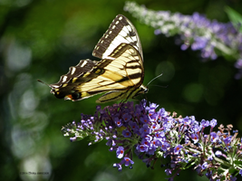 Wild Butterfly in profile by Mogrianne