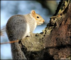 Squirrel Profile 2 by SilkenWinds