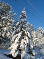 christmas tree covered by Peter-Pine