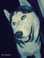 Bak, the husky dog. by mare037