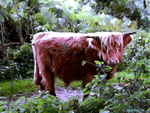 The Highland Cattle of Ashenbank Woods by Nigel-Hirst