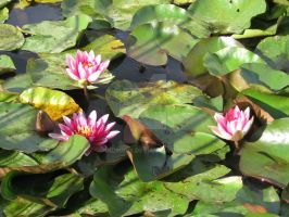 Waterlily by indrucis