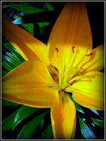 LILY FOR SAVEPLANETEARTH MEMBERS! by AudraMBlackburnsArt