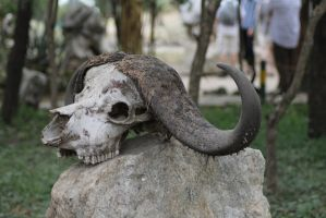 Animal-Skull 07 by syoul-stock