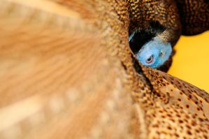 Argusianus argus, Great Malaysian Argus Pheasant by Meddling-With-Nature
